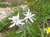 <h5>Edelweiss</h5><p>Die Dolomiten sind bekannt für ihren großen Edelweiß-Bestand</p>